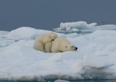 Arctic - Polar Bear