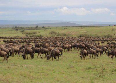 Wildebeest Africa
